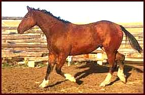 bay curly mare with 4 white socks